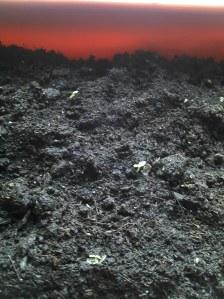 7 iunie 2012 Paulownia