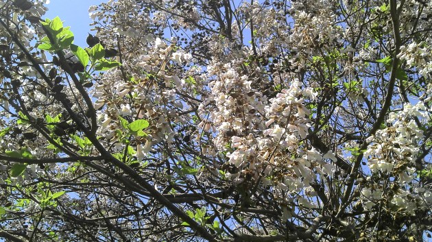 Paulownia Flori
