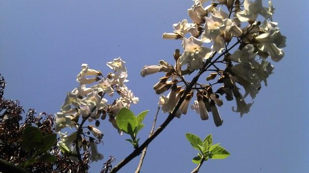 Flori Paulownia