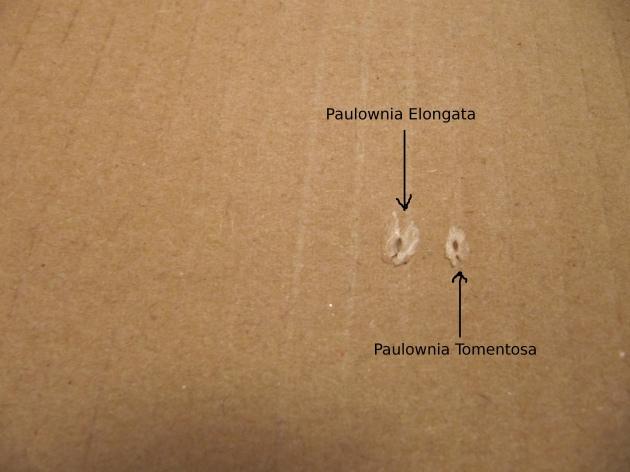 Paulownia Elongata și Paulownia Tomentosa